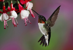 hummingbird, flowers, nature, bird, animals wallpaper