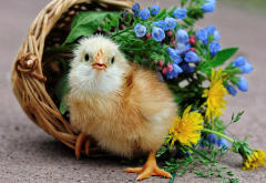 chicken, flowers, nature, animals, bird wallpaper