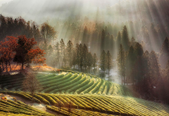 south korea, nature, autumn, fall, morning, mist, tree, tea, farm, sun rays wallpaper
