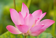lotus, water lily, flowers, petals, nature wallpaper