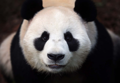 panda, animals wallpaper