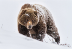 bears, snow, winter, animals wallpaper