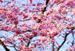 cherry, blossoms, flowering, spring, flowers, nature wallpaper