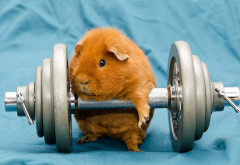 guinea pig, working out, workout, sport, animals, funny wallpaper