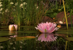 water lilly, reflections, water, pond, flowers, nature wallpaper