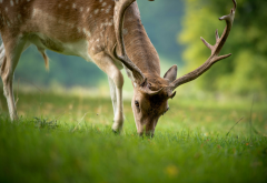 animals, deer, nature, summer, grass wallpaper