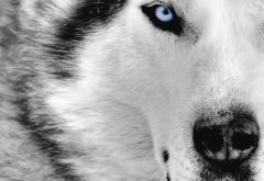 wolf, animals, wild animals, eyes, nose wallpaper