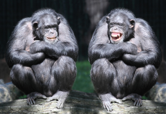 chimpanzee, zoo, monkey, smile, laugh, animals wallpaper
