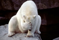 cute polar bear, white bear, facepalm, polar bear, zoo, animals, bear wallpaper