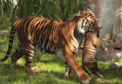 tiger, wild animals, animals, zoo, tiger kitten wallpaper
