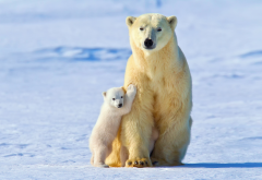 bear, polar bear, winter, snow, family, animals, bears cub wallpaper
