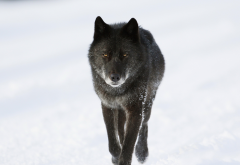 winter, wolf, canada, animals, black wolf, snow wallpaper