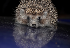 hedgehog, needles, reflection, animals, cute, funny wallpaper
