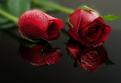 rose, petals, drops, bud, reflection, flowers, nature wallpaper