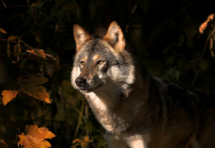 animals, wolf, autumn leaf wallpaper