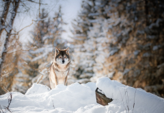 animals, predator, wolf, forest, winter, snow wallpaper