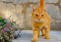 red cat, cat, flowers, animals, yellow eyes wallpaper