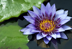 water lily, nymphaea, pond, flowers, nature, nymphaea odorata wallpaper