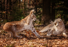 lynx, forest, leaves, fight, autumn, animals, wild cats wallpaper