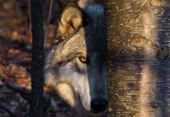 wolf, animals, predator, tree, trunk, look wallpaper