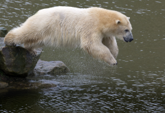 polar bears, bear, animals, jump wallpaper