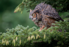 eurasian eagle-owl, bird, poultry, owl, branch, spruce, needle, cone, animals wallpaper