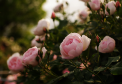 bushes, flowers, buds, roses, nature wallpaper
