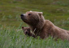 animals, bear, bear cub, cub, grass wallpaper