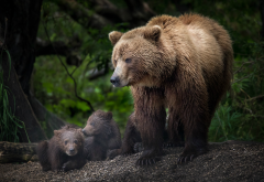brown bear, animals, bear, bear cub wallpaper