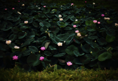 flowers, nature, lotus, grass, leaves wallpaper