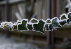 branch, leaves, hoarfrost, frost, bokeh, winter, nature wallpaper