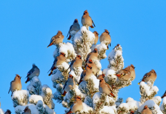 birds, waxwing, winter, snow, pine, animals wallpaper