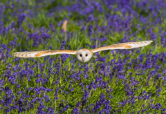 barn owl, meadow, bells, bird, owl, animals wallpaper
