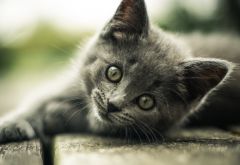 look, kitten, gray, cat, animals wallpaper
