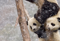 panda, snow, tree, winter, animals, zoo wallpaper