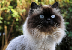 birman cat, cat, animals, muzzle wallpaper