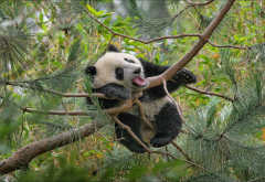 animals, bear cub, cub, panda, nature, branches, needles, pine wallpaper