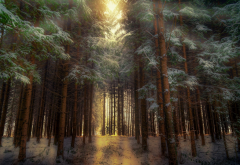 forest, nature, trees, snow, winter wallpaper