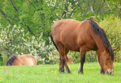 horse, pasture, tree, bloom, spring, animals wallpaper