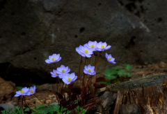 flowers, stones, spring, nature wallpaper