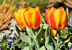 tulips, flowers, leaves, spring, nature wallpaper
