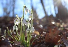 nature, spring, primroses, flowers, snowdrops, leaves, sun rays wallpaper