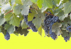 grapes, leaves, blue grapes, nature, food wallpaper