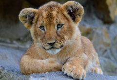 lion cub, lion, animals wallpaper