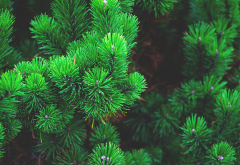 nature, branches, needle, spruce wallpaper