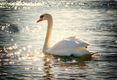 bird, swan, water, sparks, lake, animals wallpaper