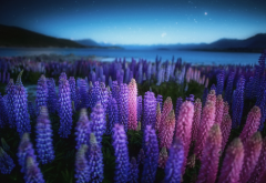 new zealand, nature, landscape, lake, lupins, flowers, night, sky, stars, lupine, lupines wallpaper