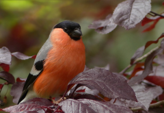 eurasian bullfinch, common bullfinch, bullfinch, pyrrhula pyrrhula, bird, animals wallpaper
