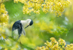 black-crowned night heron, bird, flowering, taiwan, animals, nature wallpaper