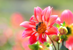 macro, flowers, dahlia, buds, bee, nature, animals, insect wallpaper